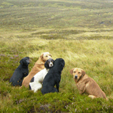 Grouse shooting at Laggan, Mordor Gun Dogs, International Training & Breeding,          Perthshire, Scotland