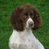 Polly - One of Our Homebred Springers, Mordor Gun Dogs, International Training &          Breeding, Perthshire, Scotland