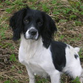 Mischa, Breeding Bitch, Mordor Gundogs, International Training & Breeding,          Perthshire, Scotland