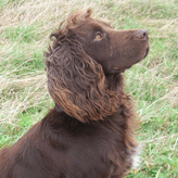 Flinty - So Handsome, Mordor Gundogs, International Training & Breeding,          Perthshire, Scotland