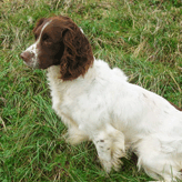 Solo - Stud Dog - Ready to Go! Mordor Gundogs, International Training & Breeding,          Perthshire, Scotland