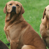 Grandfather & Grandson, Mordor Gundogs, International Training & Breeding,          Perthshire, Scotland