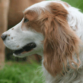 Jasper - Stud Dog, Mordor Gundogs, International Training & Breeding,          Perthshire, Scotland