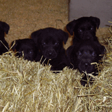 Mordor Gun Dog Pups, Mordor Gundogs, International Training & Breeding,          Perthshire, Scotland