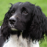 Pepper: Mordor Gun Dog Spaniel, Mordor Gundogs, International Training & Breeding,          Perthshire, Scotland
