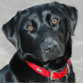 Fiji: Black Labrador at Mordor Gundogs, International Training & Breeding,          Perthshire, Scotland