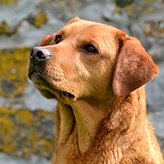 Mufassa, Fox Red Labrador from Mordor Gundogs, International Training & Breeding,          Perthshire, Scotland