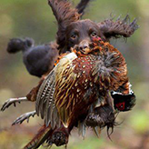 Spaniel Gundog from Mordor Gundogs on Pheasant Shoot, Mordor Gundogs, International Training & Breeding,          Perthshire, Scotland