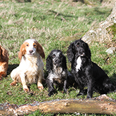 Mordor Gundog Cocker Spaniels, Mordor Gundogs, International Training & Breeding, Perthshire, Scotland