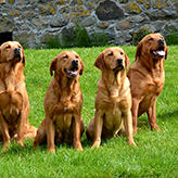 Fox Red Labradors, Mordor Gundogs, International Training & Breeding, Perthshire, Scotland