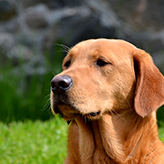 Fox Red Labrador, Mordor Gundogs, International Training & Breeding, Perthshire, Scotland
