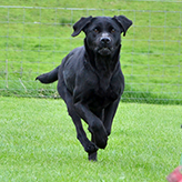 Poppy, Black Labrador Gundog, Mordor Gundogs, International Training & Breeding, Perthshire, Scotland