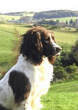 Moss, Liver & White English Springer                          Spaniel, Mordor Gundogs Stud Dog.
