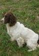 Solo, Liver & White English Springer                        Spaniel, Mordor Gundogs Stud Dog.