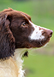 Musty, Liver & White Springer Spaniel, Mordor Gundogs Stud Dog.