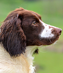 Musty, Liver & White English Springer Spaniel Mordor Gun Dogs