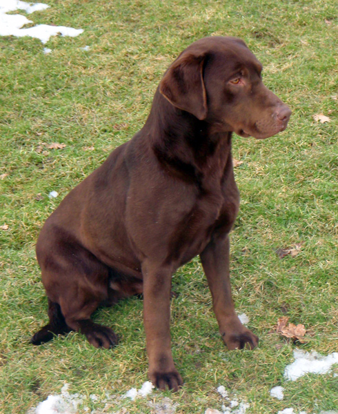 Gun Dog Labrador Puppy Training