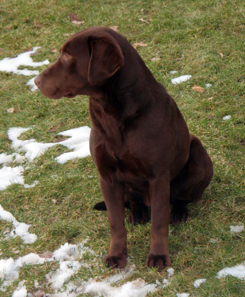 Chocolate Lab Hunting Dog