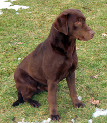 Nutella, Chocolate Labrador, Mordor Gun Dogs