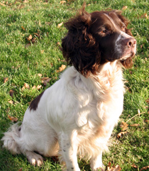Solo, Liver & White English Springer Spaniel, Mordor Gun Dogs